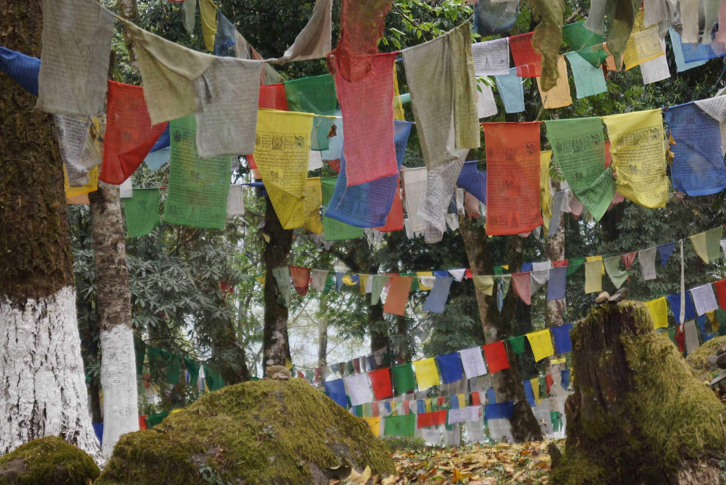 Buddhist prayer flags in a holy grove, Sikkim