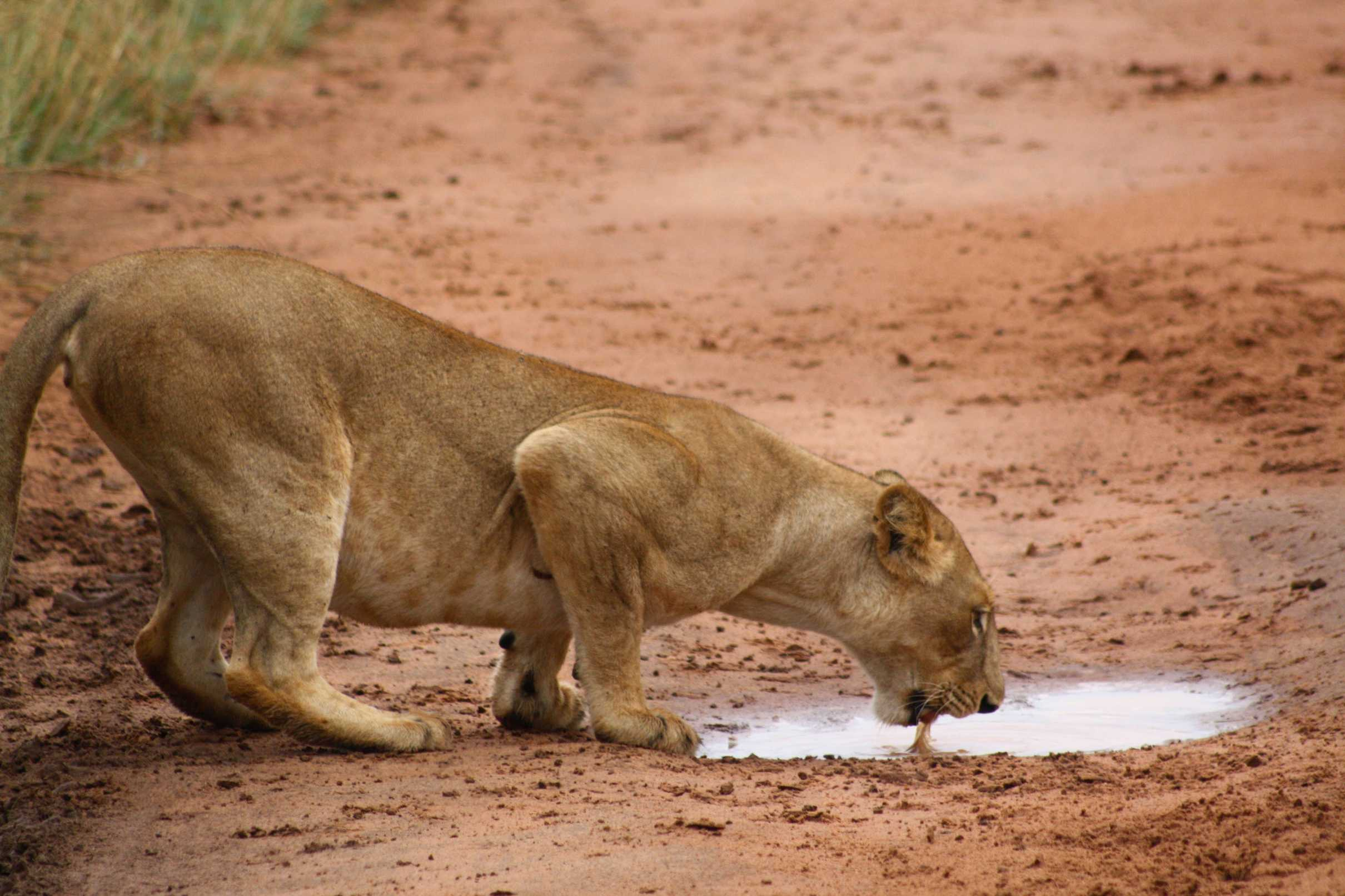 A lioness drinks from a puddle, Murchison Falls National Park